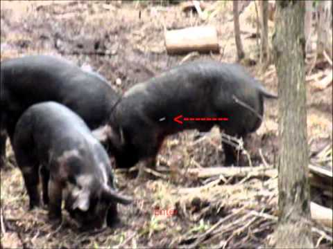 Airgun Pig Hunting 02 - Ranger .45