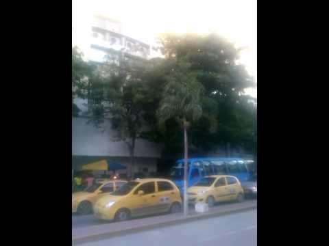Pericos trinan todos los días en un árbol de almendros en el centro de Santa Marta