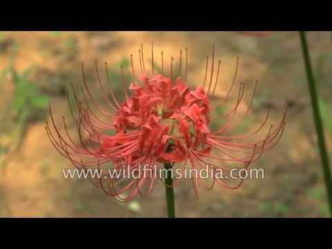 Nerine Lilies flower in Delhi - post monsoon season