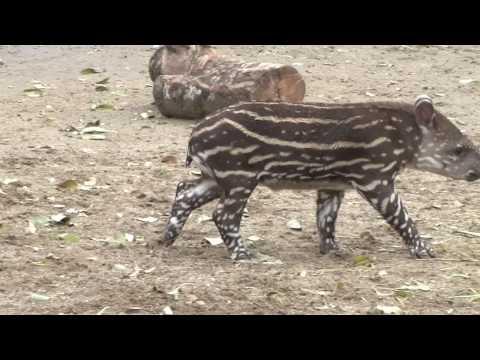Tapir amazònic