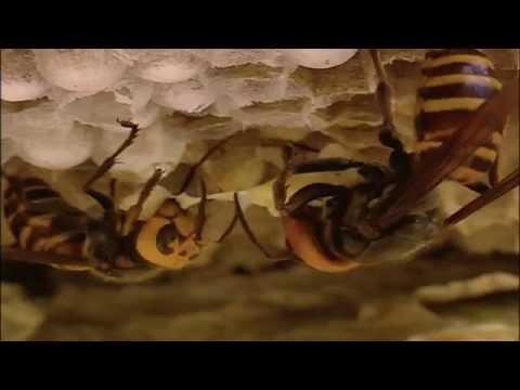 자연의 세계 - 무법자, 장수말벌