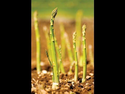 Посадка спаржи в грядки.(Asparagus)Царская спаржа.