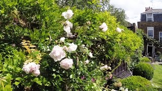 Annual tying in of a climbing rose - very short version