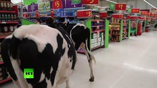 Moo-ve along please: Cows march through supermarket in milk protest
