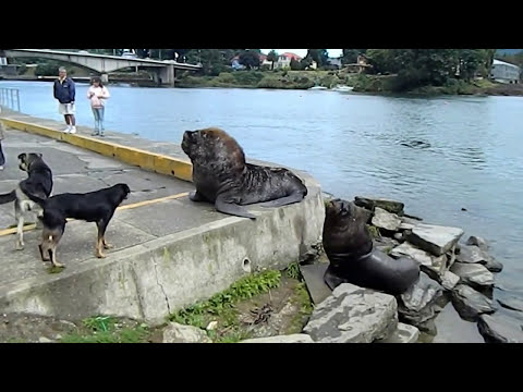 Perro v/s Lobo Marino - Dog v/s Sea Lion (Valdivia,Chile)