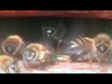 Farting bees