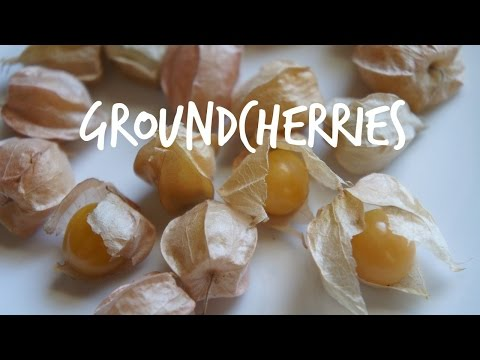 Tasting Groundcherries