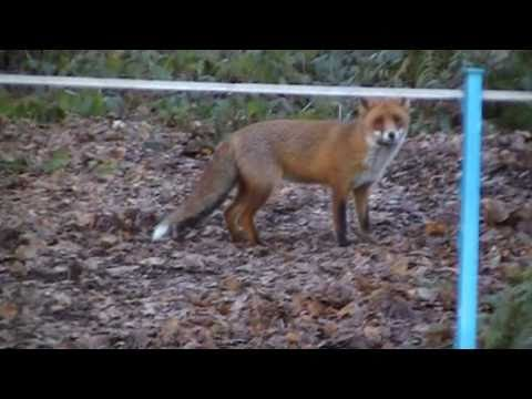 CHEEKY FOX TAKES ON MAN & DOG FOR CHICKENS.