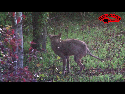 Self Filmed Coyote BowHunting Deer - Kill Shot Lighted Nock
