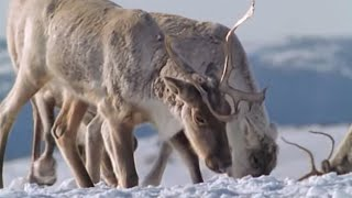 Caribou on the move - The Greatest Wildlife Show on Earth - BBC