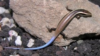 New Lizard Species Discovered in Caribbean
