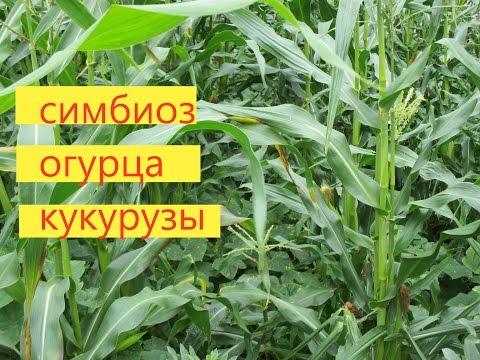 Кукуруза - Вместе