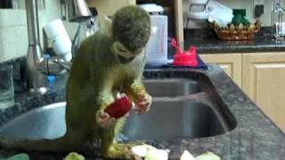 Pet squirrel Monkey Drying herself