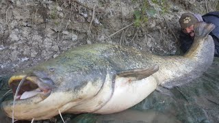 MAMMOTH CATFISH MONSTER TRUELY BIG FISH OVER 250 POUND - HD by CATFISHING WORLD