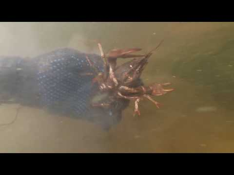 ловля раков в маске и ластах