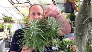 Easy To Grow Air Plants / My Air Plant Tillandsia Collection care tips and tricks for happy Plants