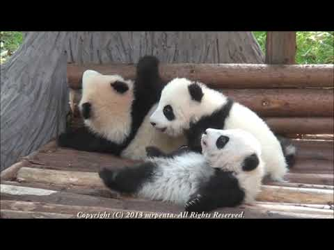 Three Panda Babies at Chengdu 2013 December   大熊猫  パンダ