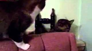 ***KITTIES BOXING ...  Daddy  v.s. Son