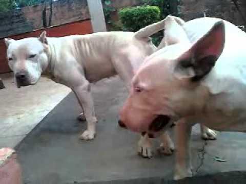 cruza pit bull e bull terrier   youtube