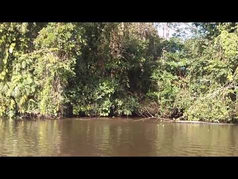 Monkey falls from tree into river. Tortuguero C.R.