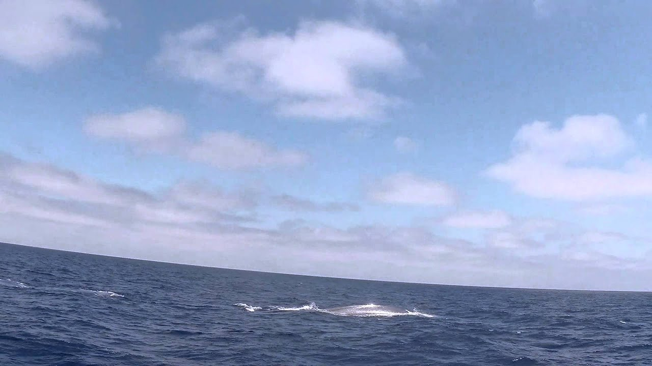 Whales in Oceans Pacific Ocean Blue Whale