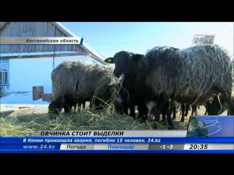 Костанайский фермер возродил романовское овцеводство