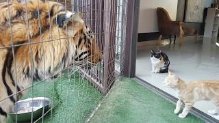 Mother cat looking out for kittens safety by the tigers