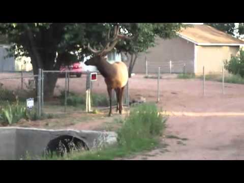 elk walks into my hood