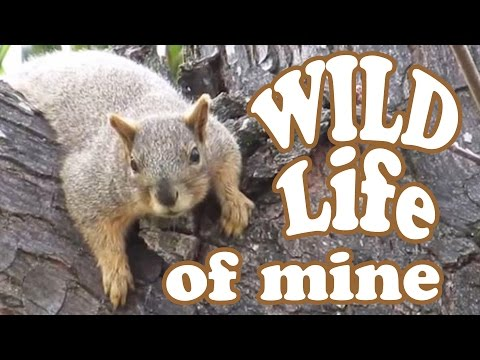 Ground Squirrel In The Wild - Wildlife Funny Animals - Grey Gray Squirrels Animal Videos - Jazevox
