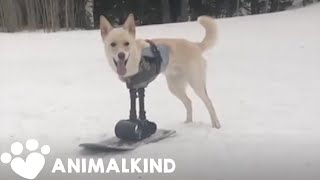 Dog with disability hits the slopes | Animalkind