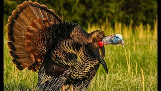 Awesome TURKEY HUNT and Kent Cartridge Factory TOUR!!!