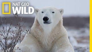 Polar Bears 101 | Nat Geo Wild