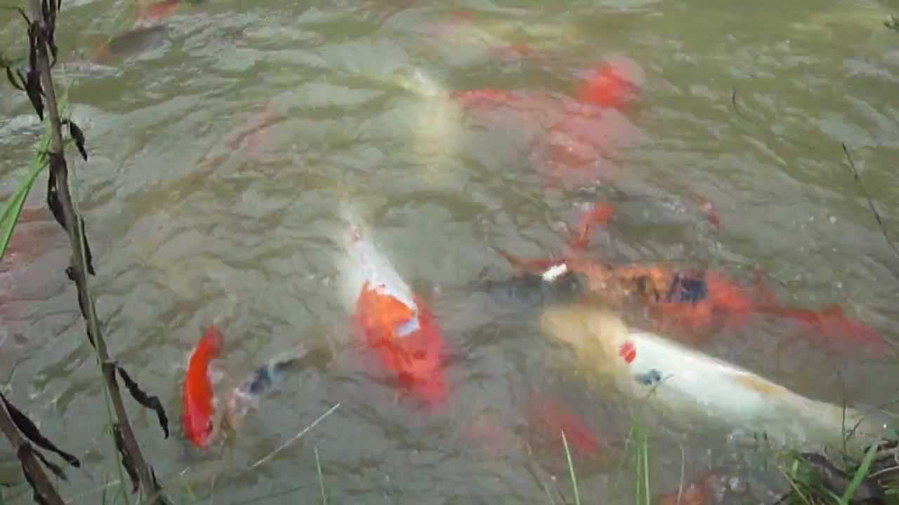 Hugh koi fish pond youtube for Fish pond preparation