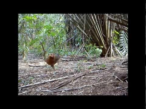 Ayam Hutan Pikat Betina 48 video