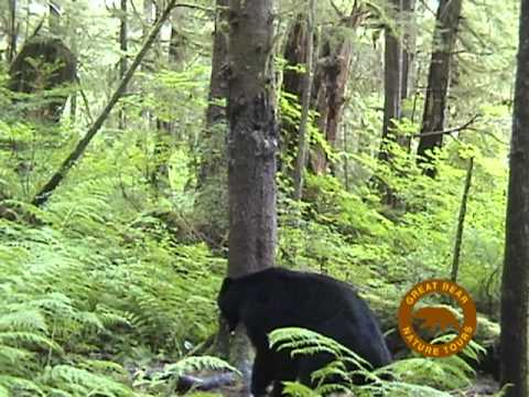 Black Bear scent marking a tree - remote camera
