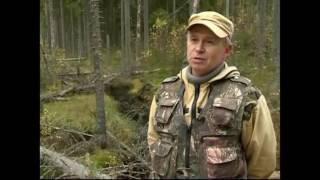 Усыхающие леса Карельского перешейка.