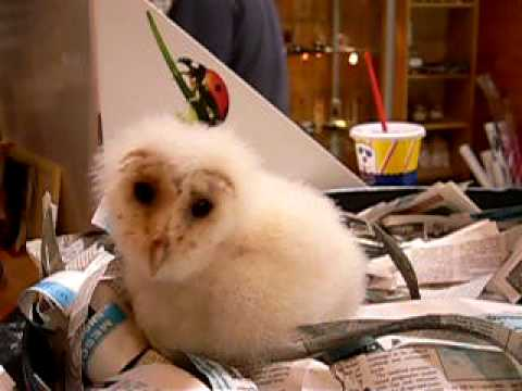 Molly Horks Exclusive footage of Molly an adult female barn owl horking This ...