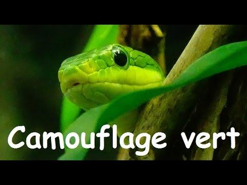 Rhadinophis prasinus (Blyth, 1854) -HD- Green Bush Rat Snake - Ménagerie Paris - 10/2014