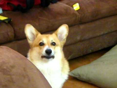Welsh corgi pembroke: Howling 101
