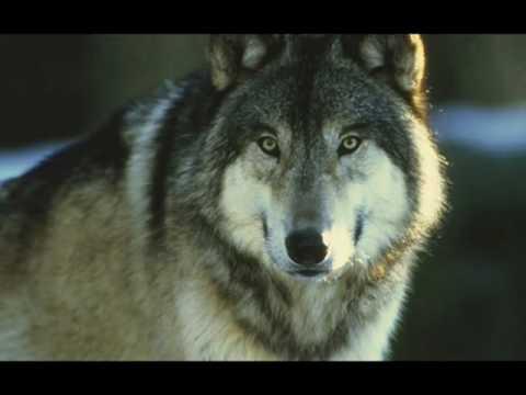 5 lobos grises vs un leon africano 0