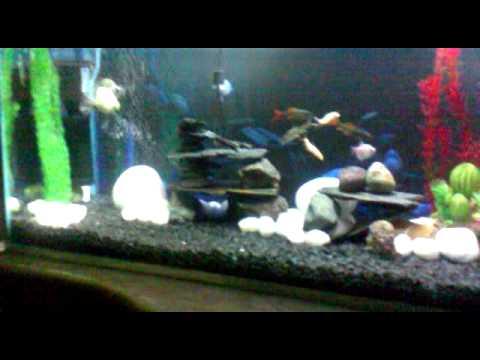 My freshwater aquarium new black gravel youtube for Black fish tank gravel