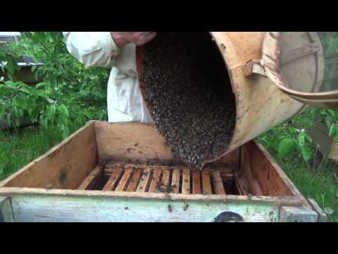ловля пчелиных роев когда