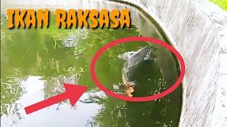 download lagu Wow...ikan Raksasa Berumur 26 Tahun Asli Dari Sungai Amazon gratis