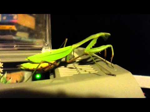 Giant African Praying Mantis Close Up video
