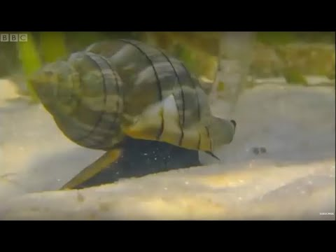 Giant Horse Conch and burglar Hermit Crabs - Blue Planet - BBC