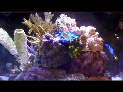 100 gallons saltwater aquarium with blueheaded wrasse, queen angelfish, emperor angelfish fowlr