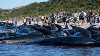 400 WHALES FOUND DEAD IN NEW ZEALAND FEBRUARY 17, 2017