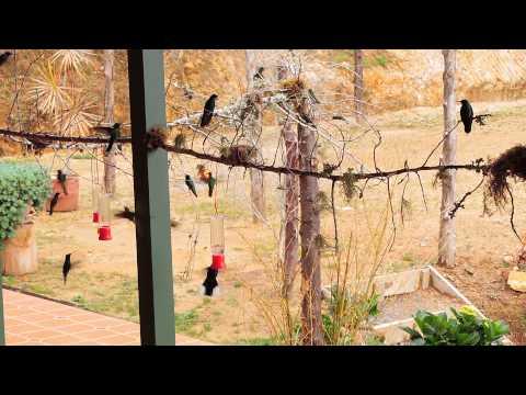 20140824-B Hummingbirds at Quinta GALEON Costa Rica DSCN8147