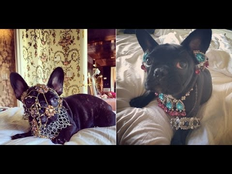 Lady Gaga Blasted by Peta for Dressing Pet Dog Asia in Heavy Jewellery and Frills