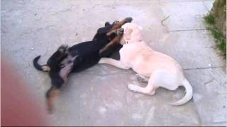 Labrador vs Rottweiler